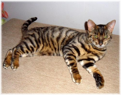 Toyger Cat: Toyger Toyger House Cat Compared To Breed