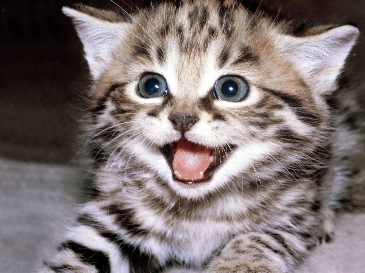 Toyger Kitten: Toyger Toyger Kitten Cuteeeeee Breed