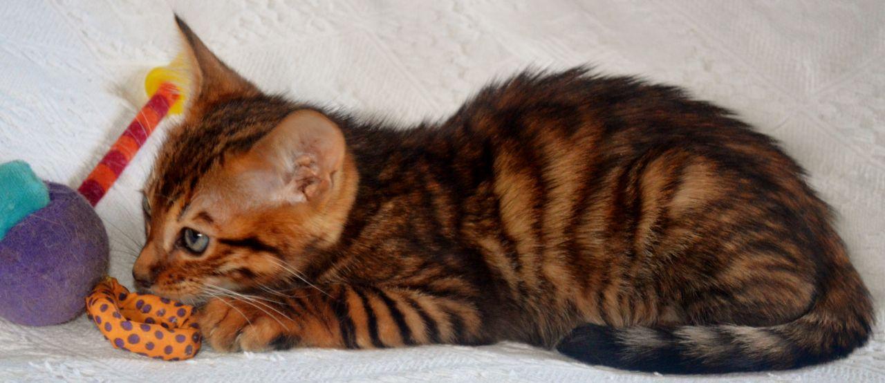 Toyger Kitten: Toyger Toyger Kitten Male Brandon Breed