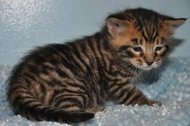 Toyger Kitten: Toyger Toyger Kittens Breed