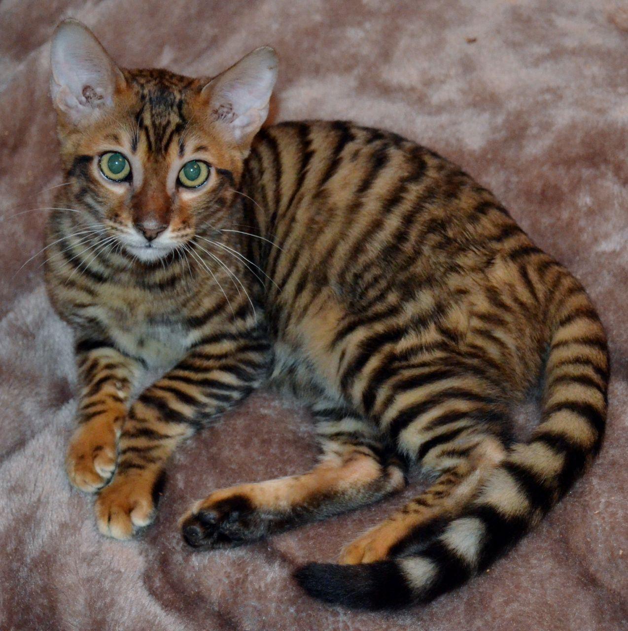 Toyger Kitten: Toyger Toyger Kittens Price Breed