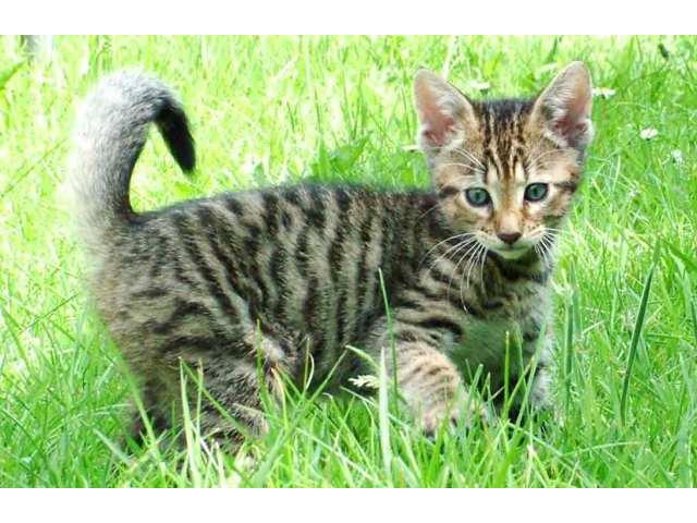 Toyger Kitten: Toyger Toygerkittens O Breed