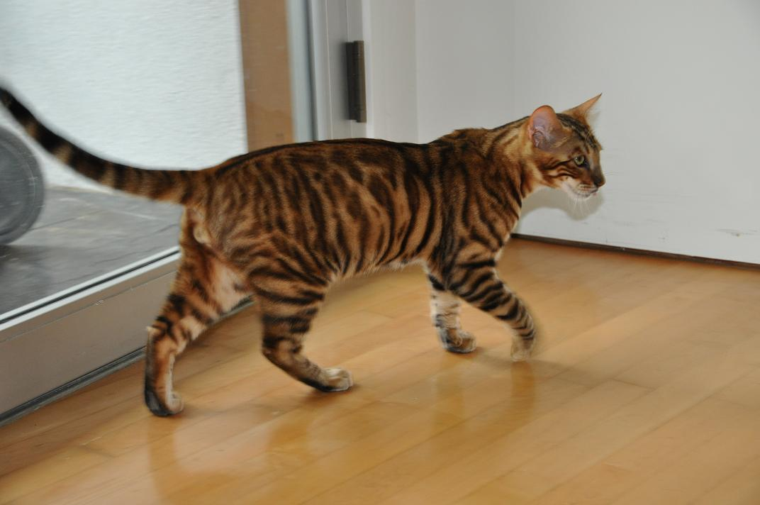 Toyger Cat: Toyger Toygers Breed