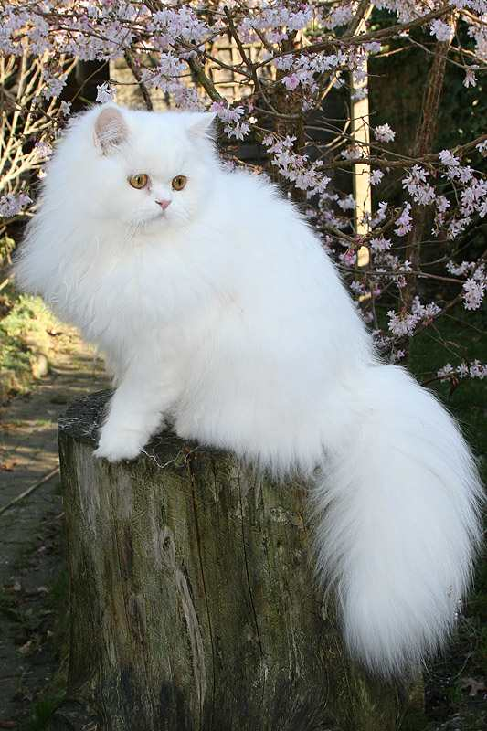 Traditional Persian Cat: Traditional Archive Breed