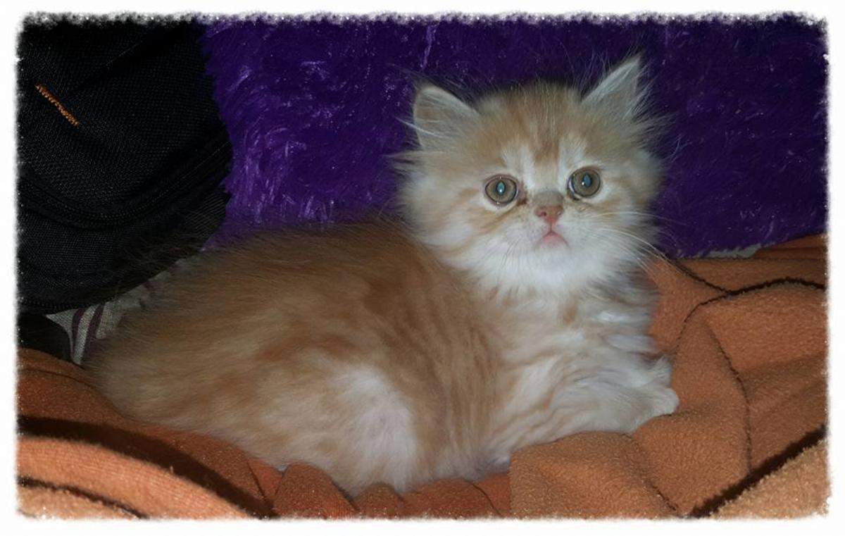 Traditional Persian Kitten: Traditional Beautiful Silver Tabby Traditional Male Persian Kitten Weeks Old Breed