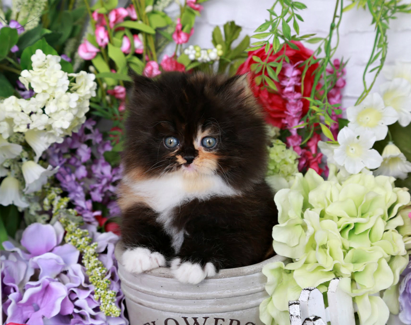 Traditional Persian Kitten: Traditional Chanel Breed