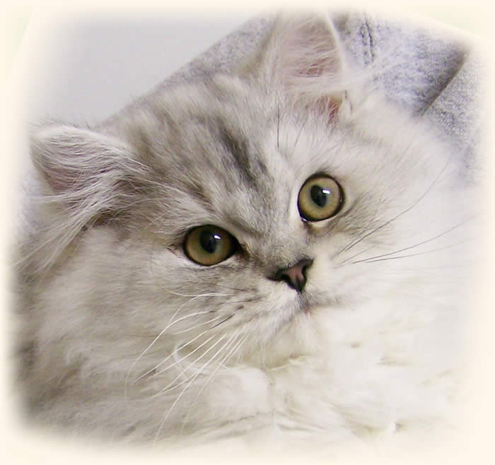 Traditional Persian Kitten: Traditional Doll Face Persian Kittens Breed
