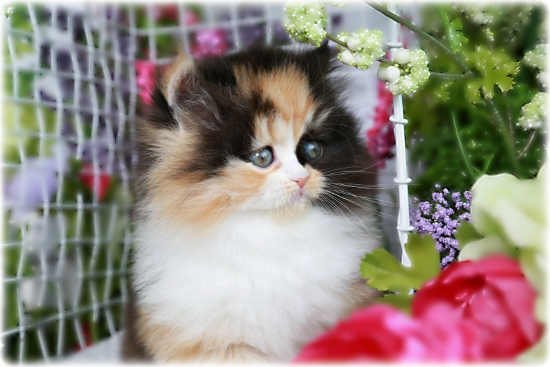 Traditional Persian Kitten: Traditional Ella Click Here Breed