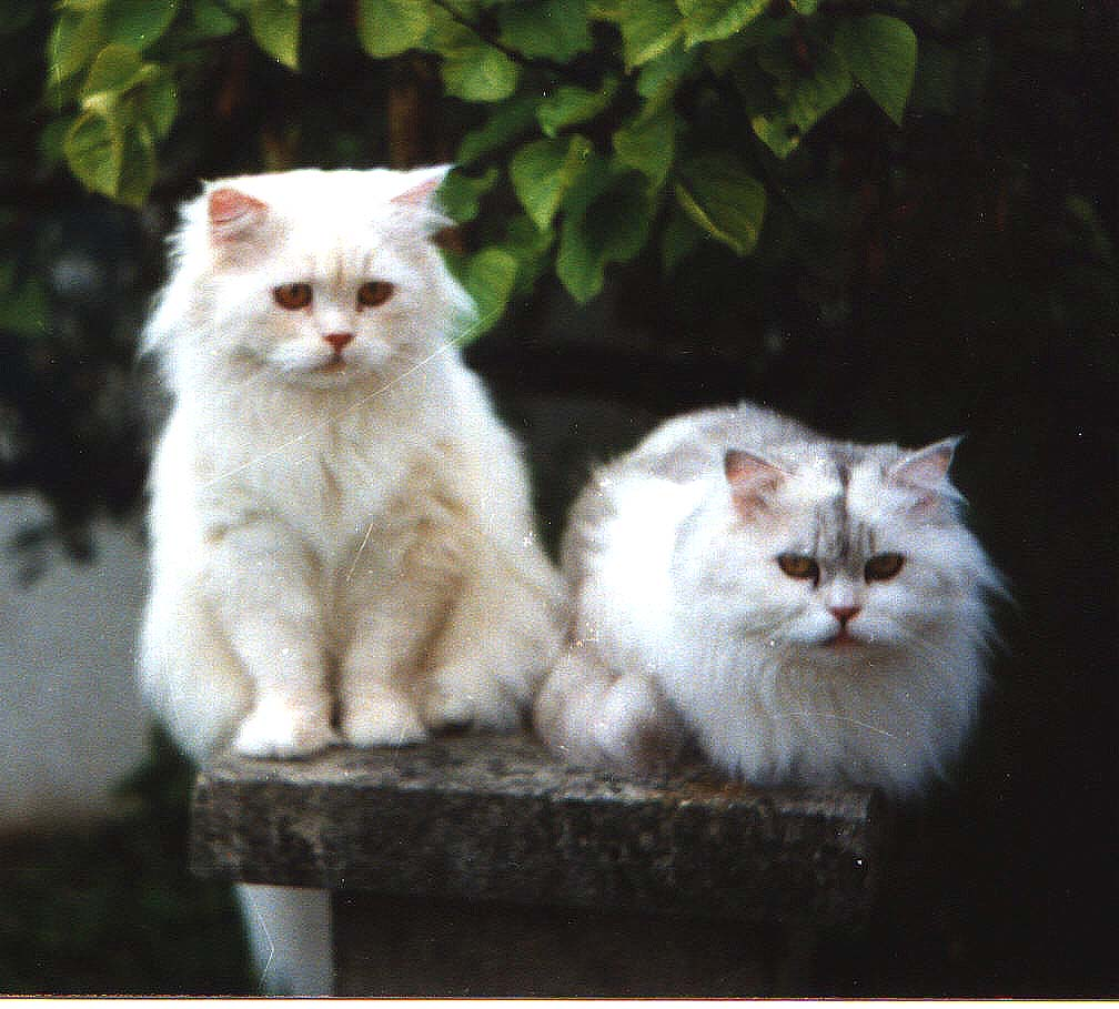 Traditional Persian Cat: Traditional Faqtpersian Breed