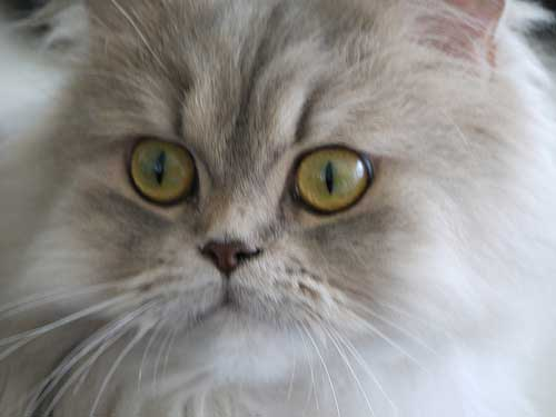 Traditional Persian Cat: Traditional Meet The Persian Cat Fall In Love Breed