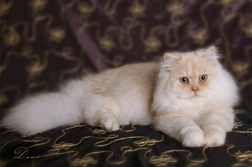 Traditional Persian Cat: Traditional Persian Cats Breed