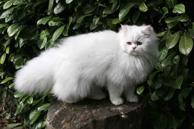 Traditional Persian Cat: Traditional The Cat S I Remember Breed