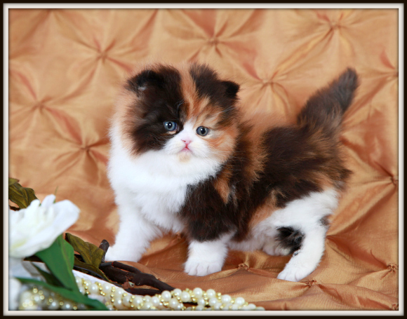 Traditional Persian Kitten: Traditional Traditional Calico Teacup Persian Kitten For Sale Breed