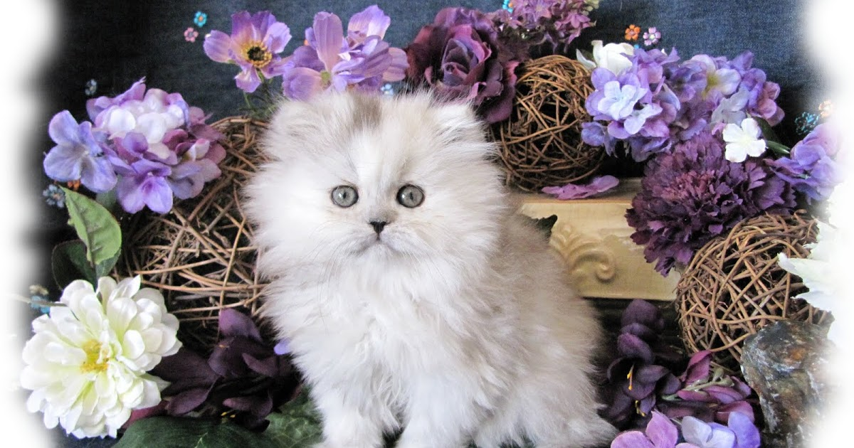 Traditional Persian Kitten: Traditional Traditional Doll Face Persian Kittens Breed