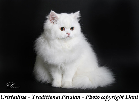 Traditional Persian Cat: Traditional Traditional Persian Cat Picture Breed