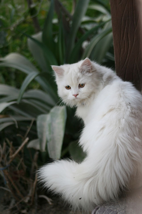 Traditional Persian Cat: Traditional Traditionalpersiancat Breed