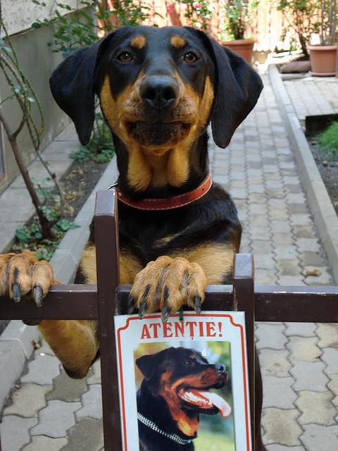 Transylvanian Hound Dog: Transylvanian Funny Transylvanian Hound Dog Transylvanian Hound Dog With Master Breed