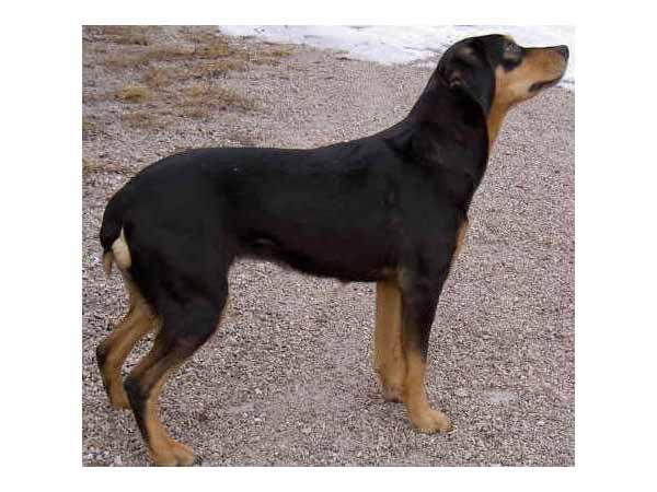 Transylvanian Hound Puppies: Transylvanian Smaland Hound Breed