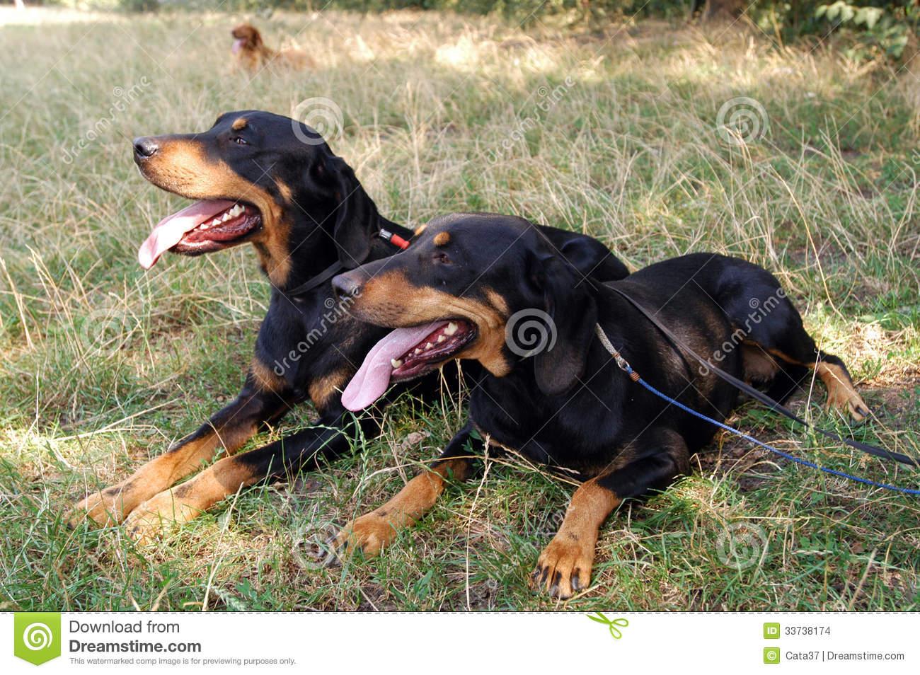 Transylvanian Hound Dog: Transylvanian Stock S Transylvanian Hound Two Dogs Lying Grass Breed
