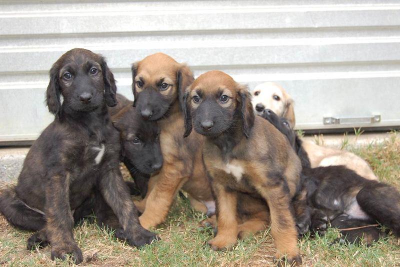 Transylvanian Hound Puppies: Transylvanian Three Cute Hanover Hound Puppies Breed