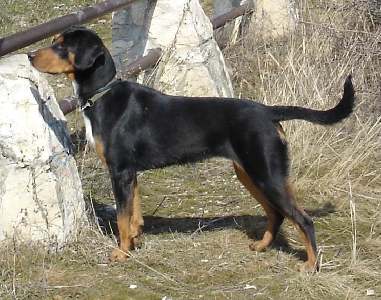 Transylvanian Hound Dog: Transylvanian Transylvanian Hound Dog Breed