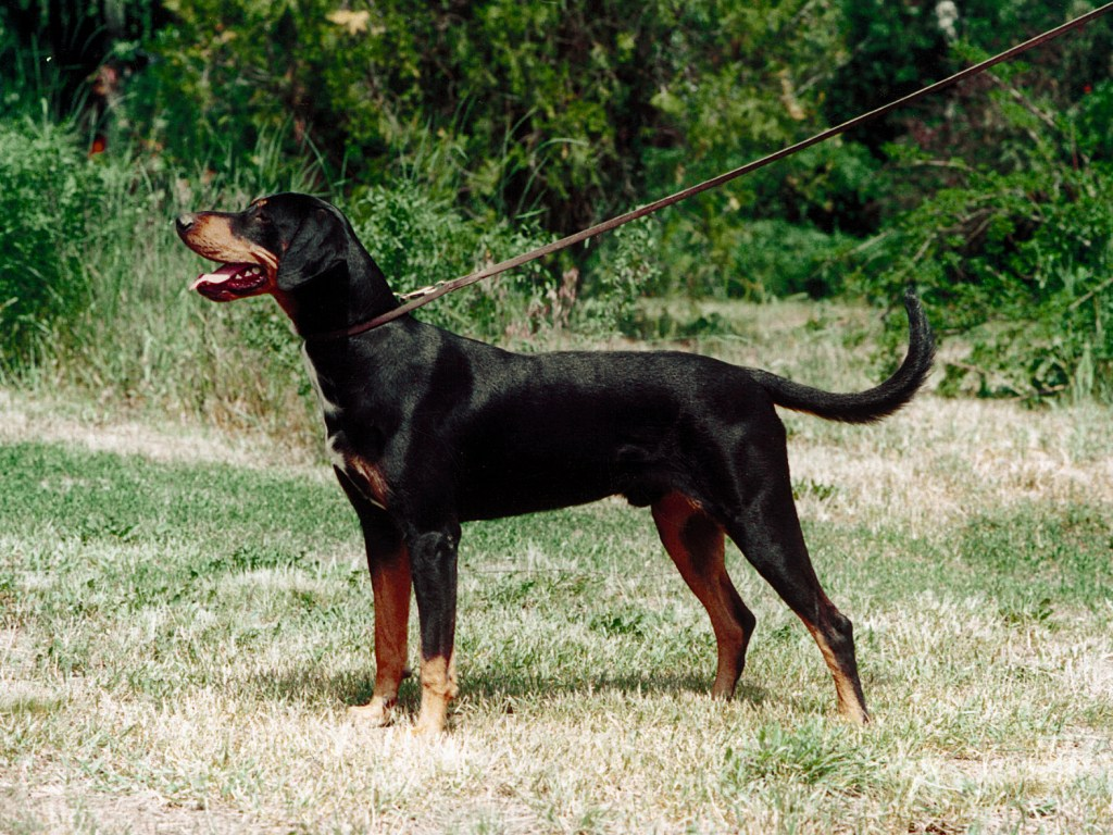 Transylvanian Hound Dog: Transylvanian Transylvanian Hound Dog With Master Breed