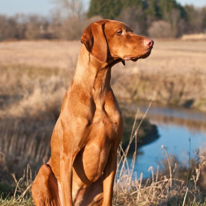 Transylvanian Hound Puppies: Transylvanian Vizslas Breed