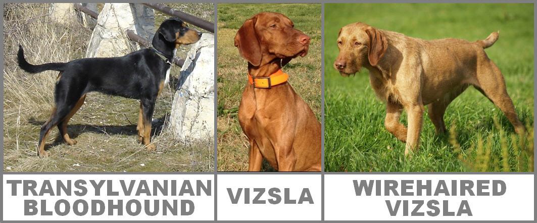 Transylvanian Hound Dog: Transylvanian World Dog Show Dog Breeds From Hungary