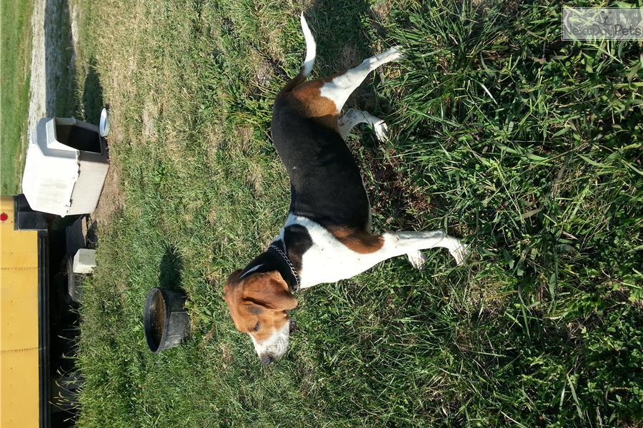 Treeing Walker Coonhound Puppies: Treeing Dbef F Breed