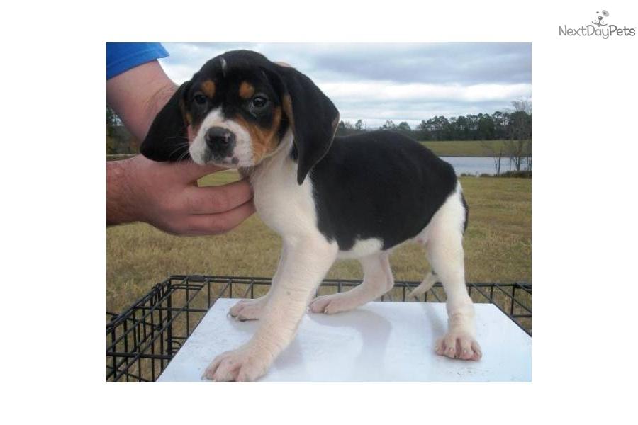 Treeing Walker Coonhound Puppies: Treeing Dec D Breed