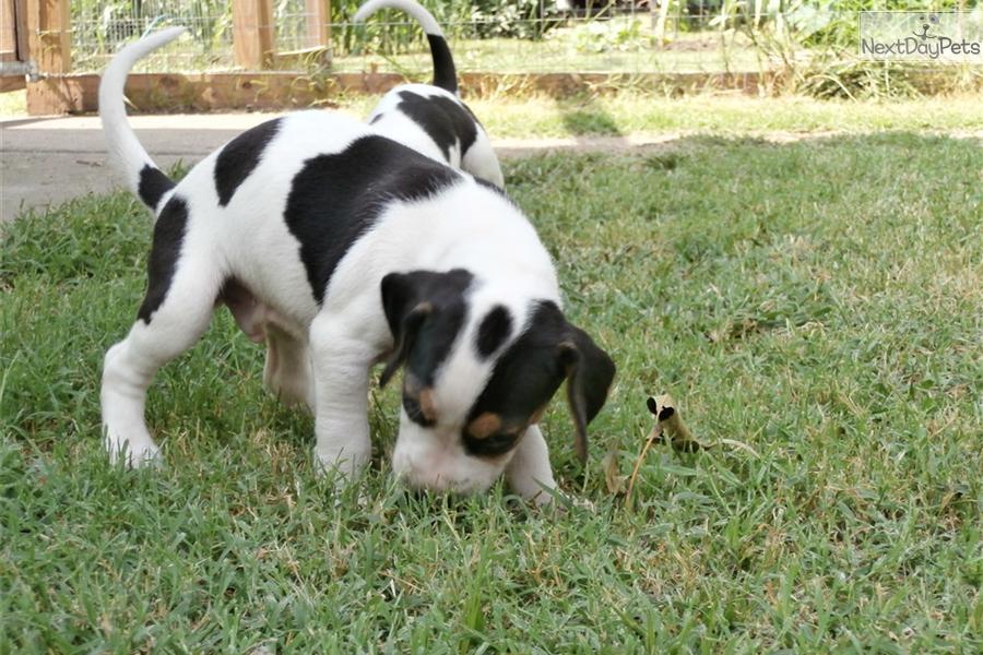 Treeing Walker Coonhound Puppies: Treeing Ecf C Breed