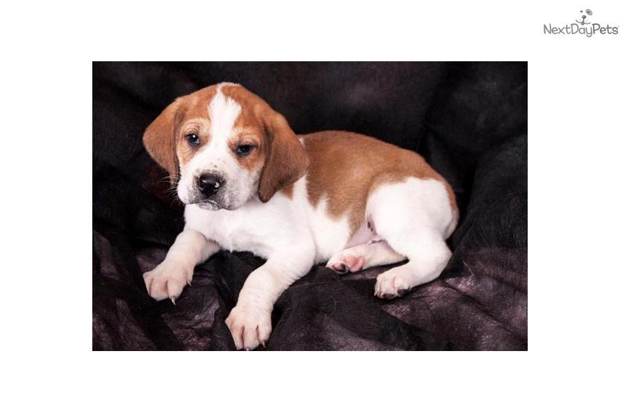 Treeing Walker Coonhound Puppies: Treeing Ed Breed