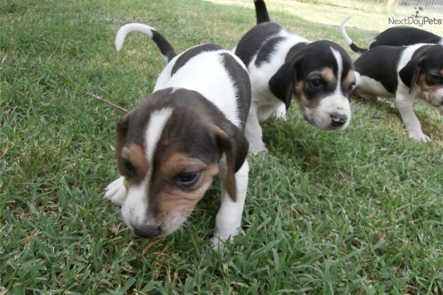 Treeing Walker Coonhound Puppies: Treeing Faa Breed