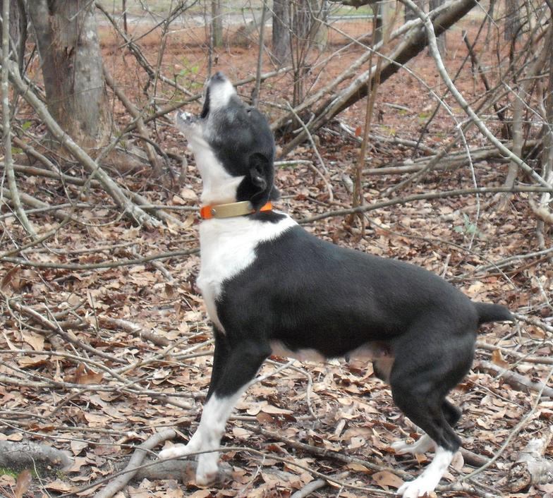 Treeing Cur Dog: Treeing Gallery Breed