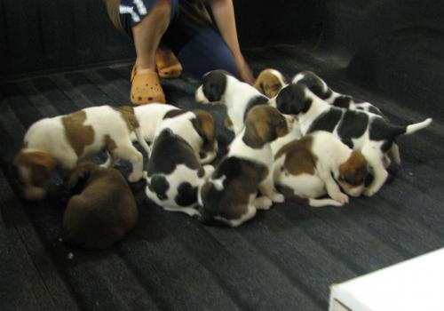 Treeing Cur Puppies: Treeing Index Breed