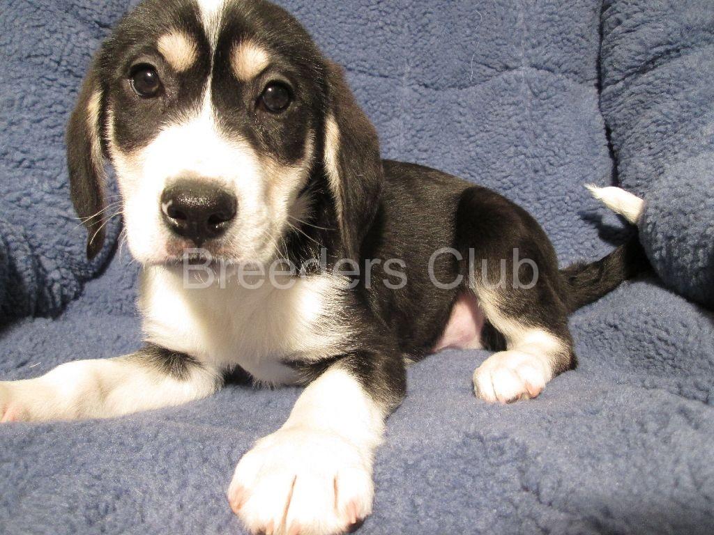 Treeing Walker Coonhound Puppies: Treeing Labrador Retriever X Treeing Walker Coonhound Breed