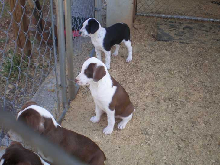Treeing Cur Puppies: Treeing Mountain Curs Breed