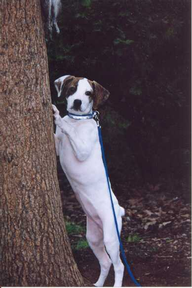 Treeing Cur Dog: Treeing Ntca Breed