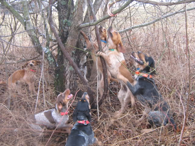 Treeing Cur Dog: Treeing Printthread Breed