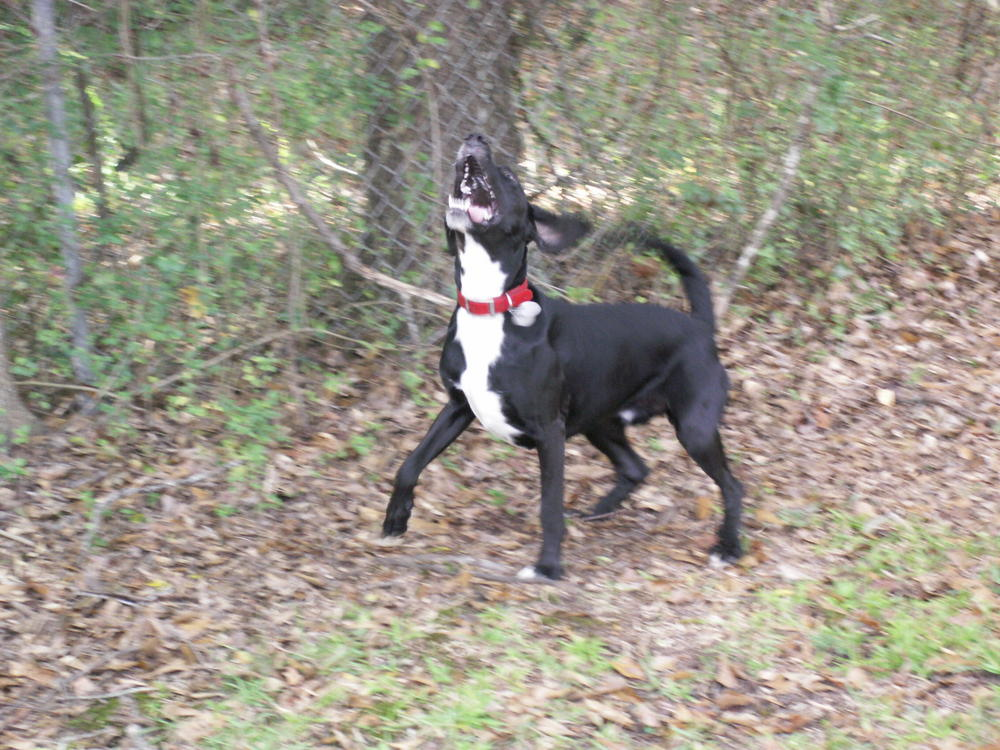Treeing Cur Puppies: Treeing Showthread Breed