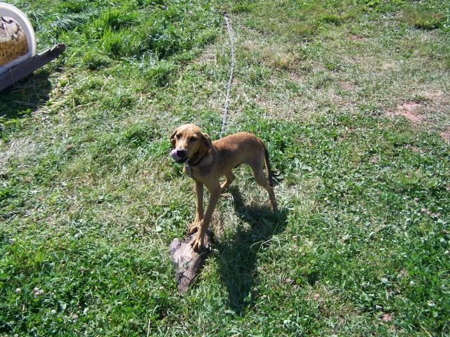 Treeing Cur Puppies: Treeing Treeing Cur Breed