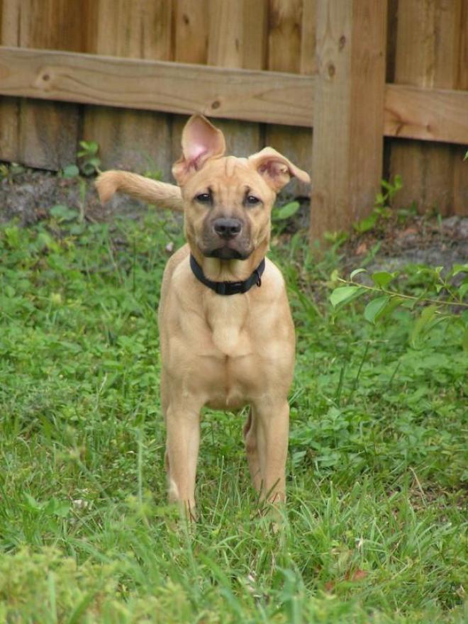 Treeing Cur Puppies: Treeing Treeing Cur Dog Breed