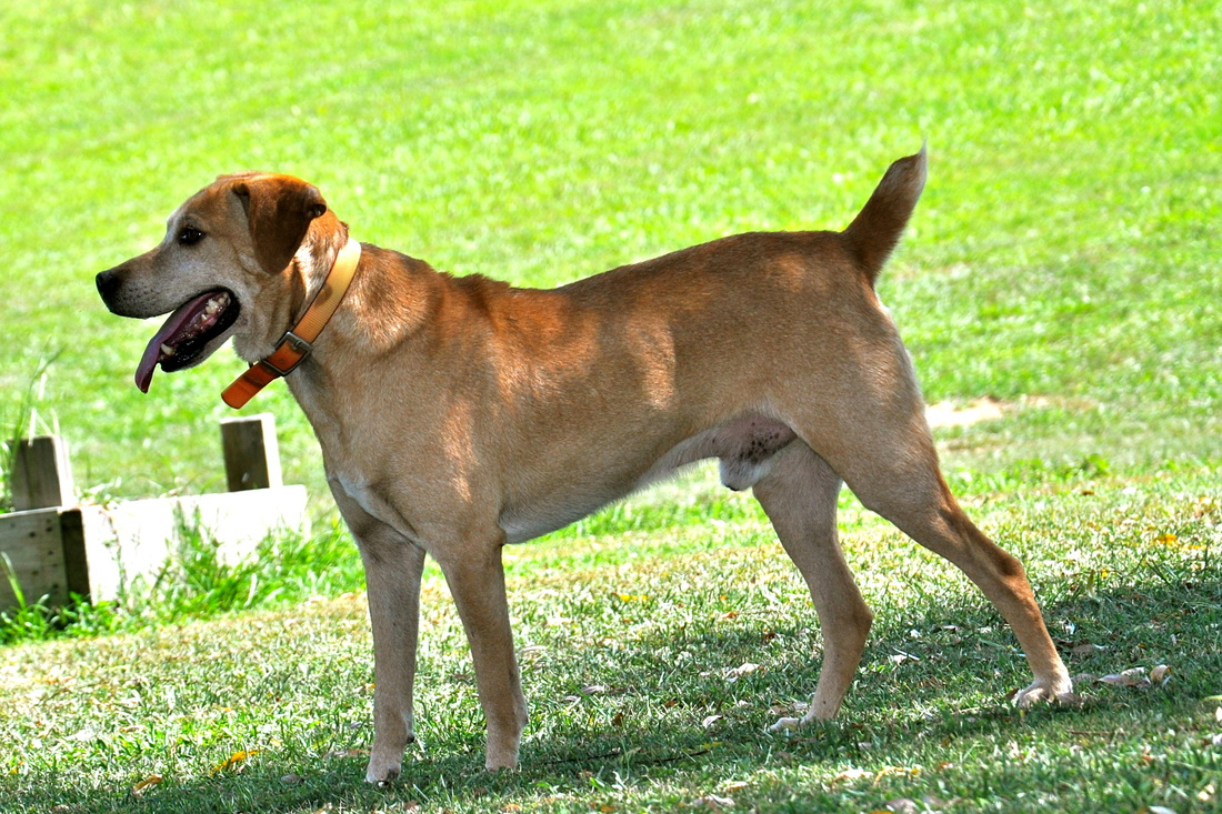 Treeing Cur Dog: Treeing Treeingcurdogforsale Breed