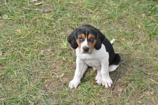 Treeing Walker Coonhound Puppies Puppy Dog Gallery