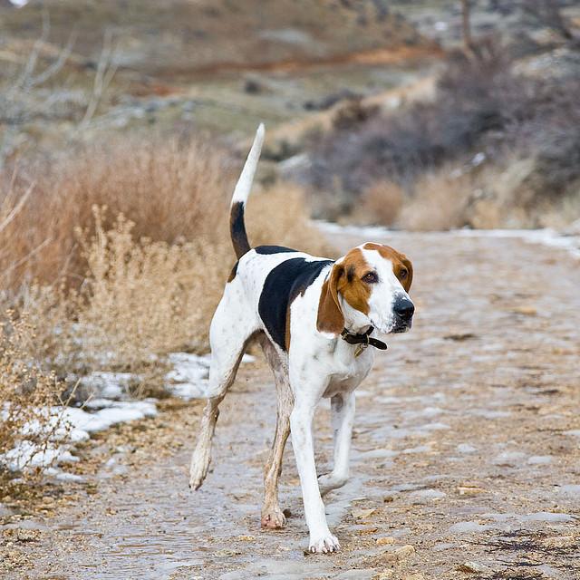 Treeing Walker Coonhound Puppies: Treeing Waterscenes Coon Treeing Walker Hound X Kb Jpeg Breed