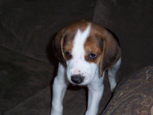 Trigg Hound Puppies: Trigg American Foxhound Puppies Breed