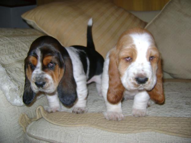 Trigg Hound Puppies: Trigg Basset Hound Breed