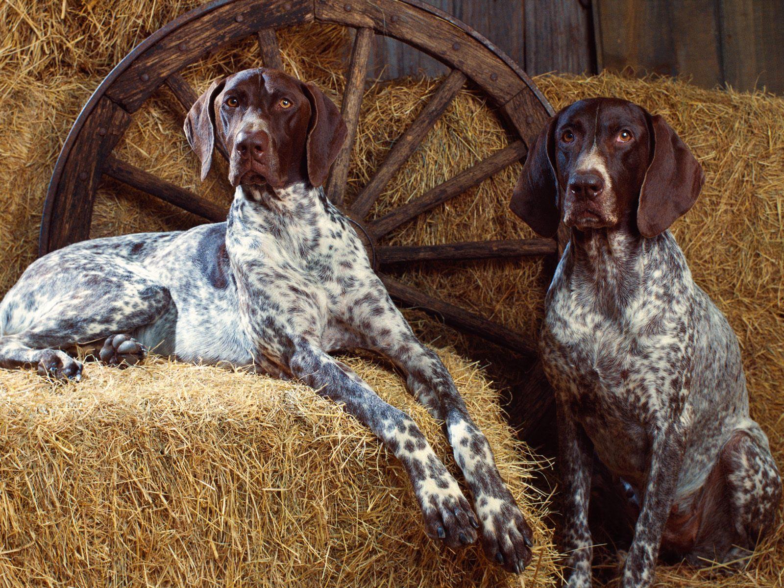 Trigg Hound Puppies: Trigg Bluetick Coonhound Breed