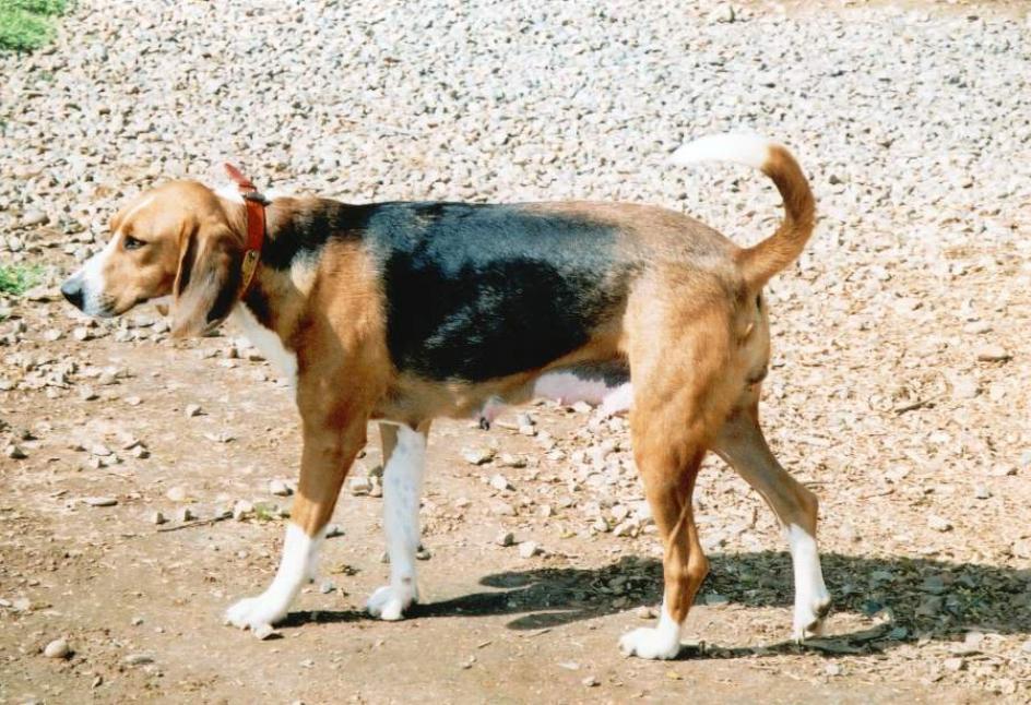 Trigg Hound Puppies: Trigg Cdn Dailypuppy Breed