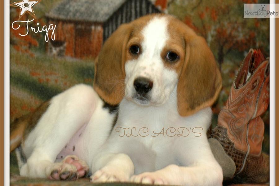 Trigg Hound Puppies: Trigg Ddcf A Breed